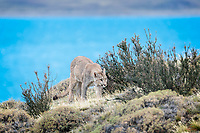 Wild Puma (Puma concolor) gets up from her resting spot on the shore overlooking Lago Sarmiento, and checks out the area. Like all big cats, they are masters of using cover and stealth to get close to prey. She was not hungry at this point but kept a low profile and stayed close to the bushes anyway.