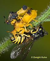 AM02-575z   Ambush Bugs mating, female feeding on Sandhills Hornet prey with long sharp beak,  Phymata americana
