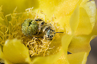 Leafcutter bee, Lithurgus sp., on flower of Engelmann's prickly pear, Opuntia phaeacantha discata. Saguaro National Park, Arizona