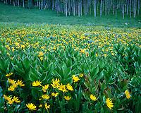 Field of Arrowleaf Balsamroot (Balsamorhiza sagittata) in an aspen forest; Routt National Forest, CO