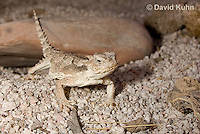 0610-1009  Desert Horned Lizard or Horny Toad (Mojave Desert), Phrynosoma platyrhinos  © David Kuhn/Dwight Kuhn Photography