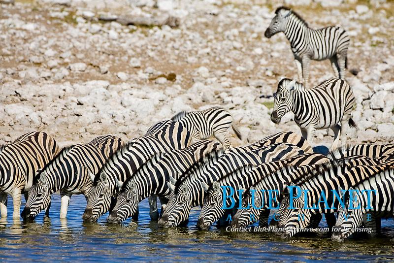 Zebras (Equus) drinking from a waterhole, Okaukuejo, Etosha National Park, Namibia, Africa