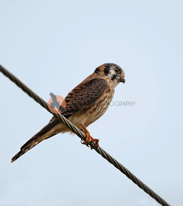 Female American Kestrel perched on a wire in Florida