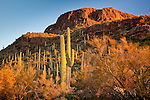 Saguaro cacti in the Sonoran Desert in Saguaro National Park - Tucson Mountain District in Tucson, AZ, USA