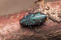 A Metallic Wood-boring Beetle (Chrysobothris azurea) explores a branch of a fallen oak tree.