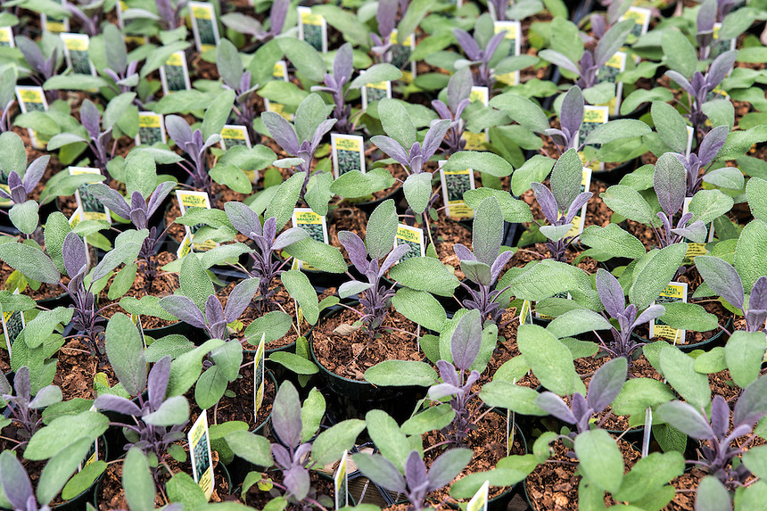 Herb, Purple Sage, Salvia, Salvia officinalis