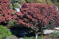 Zelkova serrata 'Schmidtlow' (right) aka Wireless Japanese zelkova in fall foliage color at JC Raulston Arboretum at North Carolina State University