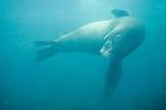 Coronado Islands, Baja California, Mexico; a large male, bull California Sea Lion (Zalophus californianus) swims through the blue water over the rocky reef