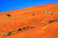 Camel herd climbing a huge, orange sand dune in the Arabian desert, near Dubai, United Arab Emirates, Asia