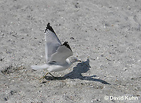 0620-0903  Ring-billed Gull Preparing to Take Flight, Larus delawarensis  © David Kuhn/Dwight Kuhn Photography