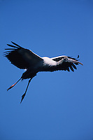 A Wood stork (Mycteria americana) in flight.