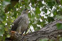 Gray Hawk, Big Bend National Park