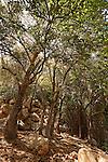 T-001 Elm tree in Wadi Tzalmon