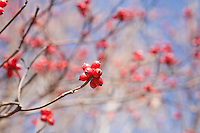 Red berries, Round Valley Reservoir, Hunterdon County, New Jersey