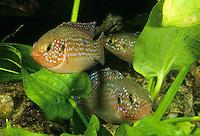 Lifalilis Buntbarsch, Juwelenbuntbarsch, Juwelen-Buntbarsch, Roter Cichlide, Hemichromis lifalili, Blood-Red Jewel Cichlid