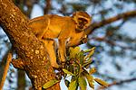 Vervet Monkey (Chlorocebus pygerythrus) sub-adult feeding, Kafue National Park, Zambia