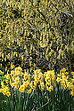 Chinese winter hazel (Corylopsis sinensis) underplanted with Narcissus 'Golden Dawn', early April.