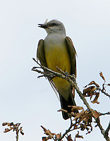 Adult western kingbird with insect