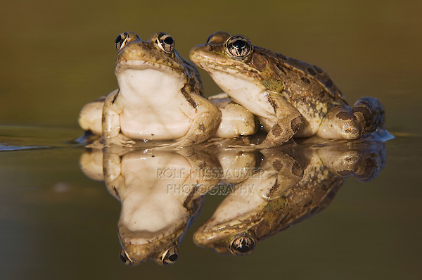 Rio Grande Leopard Frog, Rana berlandieri, two adults in water with reflection, Uvalde County, Hill Country, Texas, USA