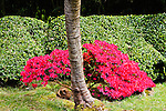 TRUNK OF CHERRY TREE, KURUME AZALEA, BOXWOOD