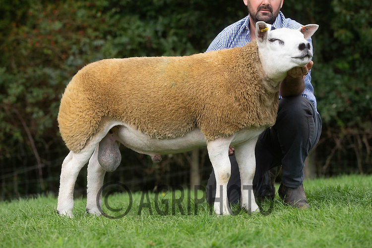 1.9.2020 Texel Sheep Society English National Sale<br /> Lot 294 Cosyn Texels Dynamic owned by  Mr Carl Henry Bellis sold for 3200 gns<br /> ©Tim Scrivener Photographer 07850 303986<br />      ....Covering Agriculture In The UK.