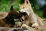 Grey wolf pups, Flathead Valley, Montana