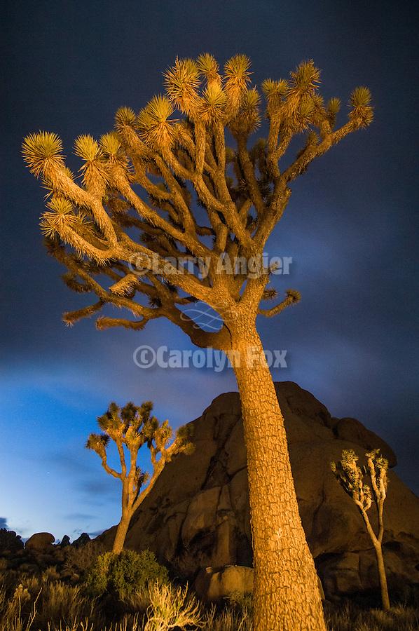 Joshua trees, and boulder in the twilight sky, Joshua Tree National Park, Calif.