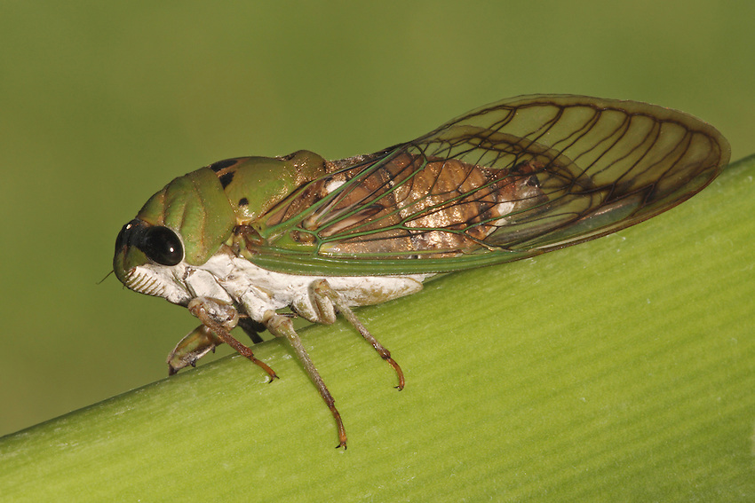 Unlike crickets and grasshoppers which make sounds by rubbing their wings and legs together, male (seen here) cicadas produce sound by vibrating special membrane-like structures (tymbals) on their abdomen.