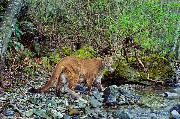 Mountain Lion or Cougar (Puma concolor) walking along edge of mountain stream in western Cascade Mountains of Washington.  Spring.