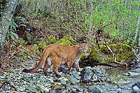 Mountain Lion or Cougar (Puma concolor) walking along edge of mountain stream in western Cascade Mountains of Washington.  Spring.