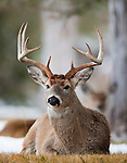 Bedded Whitetail buck with a doe in the background