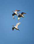 Three Pintail Ducks flying above a pond in western Montana's Bitterroot Valley