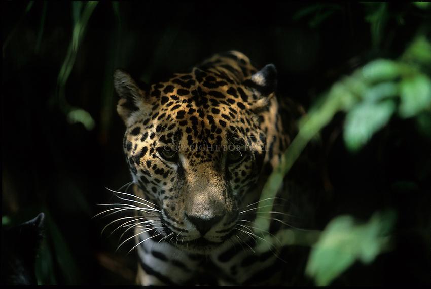 A jaguar in Belize, Central America