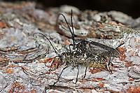 Schneiderbock, Langhornbock, Paarung, Kopulation, Monochamus sartor, sawyer beetle, pairing, copulation, Le Monochame tailleur, Monochame sarcleur