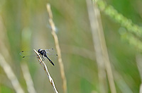 This dragonfly was a willing subject on a sunny August afternoon...