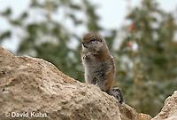 1117-0807  White-tailed Antelope Ground Squirrel, Ammospermophilus leucurus © David Kuhn/Dwight Kuhn Photography