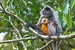 Female Silvered Langur (Presbytis cristata) carrying very young infant (less than 2 weeks). Bako NP, Sarawak, Borneo.