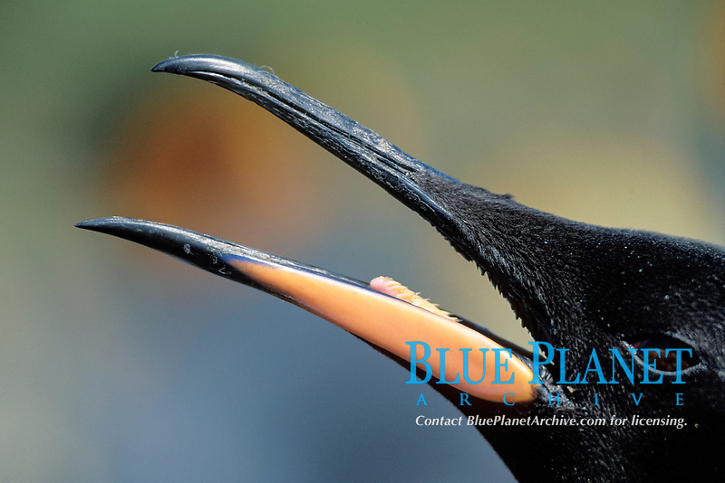 close up of beak of king penguin, Aptenodytes patagonicus, South Georgia Island, U.K., S. Atlantic