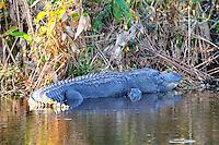 Huge alligator enjoying the sunshine at Wakodahatchee Wetlands, Delray Beach, Florida.