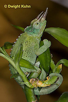 CH35-555z  Male Jackson's Chameleon or Three-horned Chameleon, close-up of face, eyes and three horns, Chamaeleo jacksonii