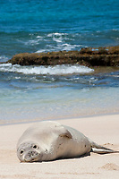 Hawaiian monk seal, Neomonachus schauinslandi, juvenile with scars on chest from recent shark attack, Critically Endangered endemic species, resting on beach at west end of Molokai, USA, Pacific Ocean