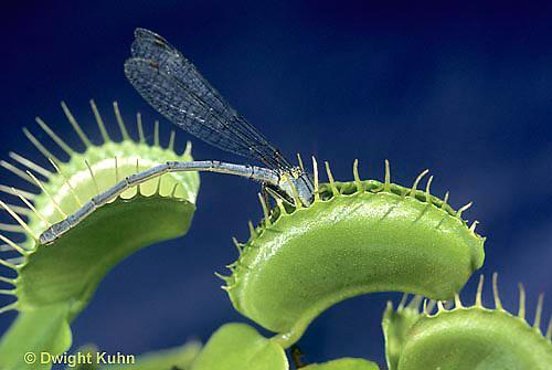 CA13-028a  Venus Fly Trap - damselfly prey on trap, carnivorous plant - Dioncea muscipula