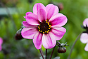 Dahlia 'Mystic Dreamer' syn. Dahlia 'Candy Eyes', early August. Compact, dark-leaved variety. Striking pink flowers with a strong magenta stripe set against almost-black foliage.