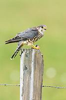 Merlin (Falco columbarius). Iceland. July.