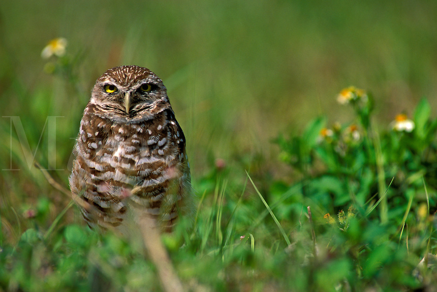 Burrowing Owl (Athene cunicularia) in the grass south Florida