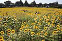 Zama Sunflowers Festival
