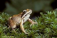 FR19-005b  Wood Frog - Lithobates sylvaticus, formerly Rana sylvatica