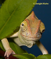 CH47-691z  Veiled Chameleon three month old young, Chamaeleo calyptratus