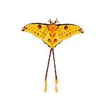 Male Comet Moth (Argema mittrei). Mantadia National Park, Madagascar.