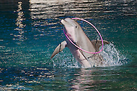 common bottlenose dolphin, Tursiops truncatus, jumping with Hula hoop, Hawaii, USA, captive